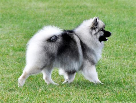 dogs that dont shed keeshond all about keeshonds breeds picture