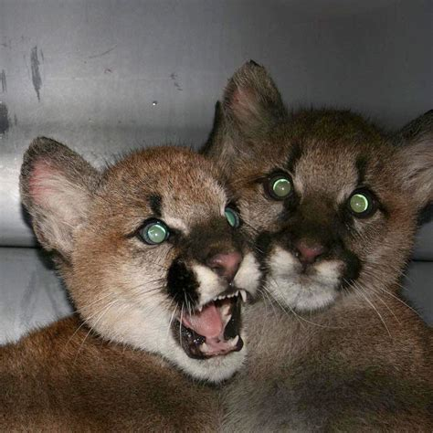 cougar minnesota found zoo sequim joyce named featured quilcene sequimgazette