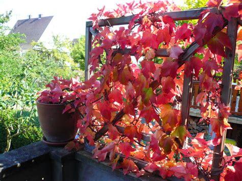 une vigne vierge en pot carnets de jardin