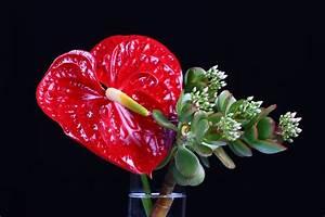 Schnittblumen Länger Frisch : anthurie als schnittblumen so bleiben sie l nger frisch ~ Watch28wear.com Haus und Dekorationen