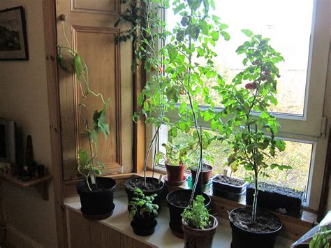 window sill garden want to grow fruit and veg but don t have a garden botanics stories