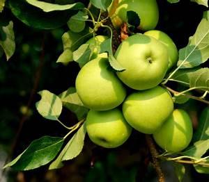 Our Beautiful World  Apple Tree