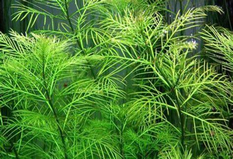 bunched aquarium plants archives arizona aquatic gardens