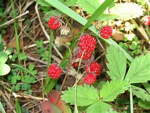 Wild Strawberries Poisonous? Careful When Foraging ...