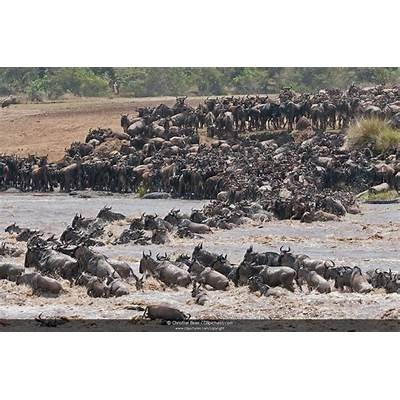 Photo/Picture A herd of Blue Wildebeest (Connochaetes