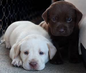 labrador retriever puppy - Wallpapers Free