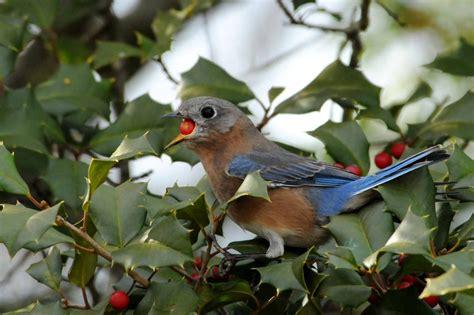 native berries  birds   feeders  feed