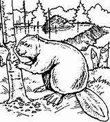 Beaver Coloring Dam Pages Getcolorings Printable Build Want sketch template