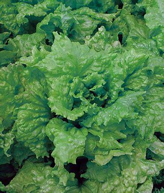lettuce black seeded simpson organic garden seeds  plants