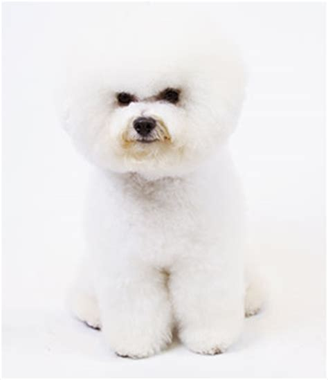 Dogs That Dont Shed Or Grow by Breeds That Don T Shed American Kennel Club