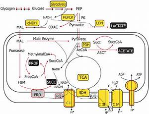 Main Pathways Of Carbohydrate Catabolism In Parasitic Flatworms With