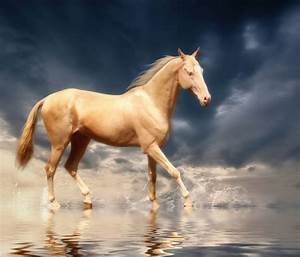 The most beautiful horse breed is found in Turkmenistan ...
