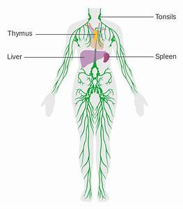 File Diagram Of The Lymphatic System Cruk 041 Svg