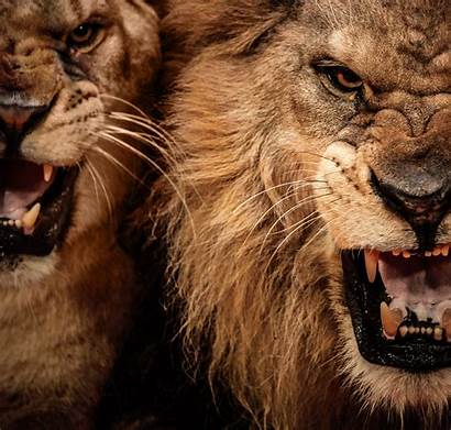 Lion Wallpapers Roaring Head Cave Backgrounds