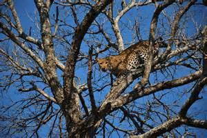 Leopard vs Lion