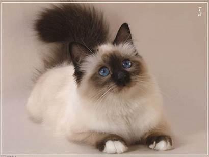 Siamese Cats Kitty Nice
