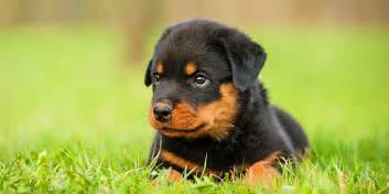 Low Shed Dogs Breeds by Top 10 Misconceptions About Rottweilers Animalso