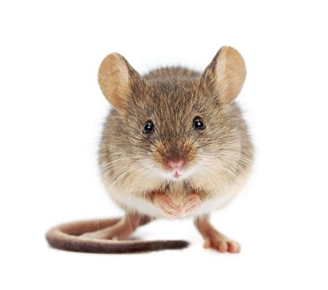 pictures of mice 3 step process to get rid of mice 1 sanitize 2 mouse proof your home 3 eliminate the existing