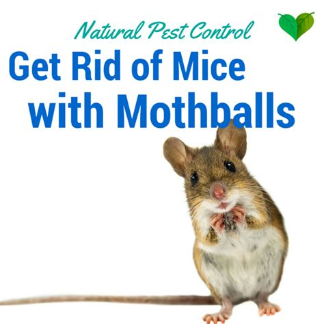 moth ball technique remove mice from your home