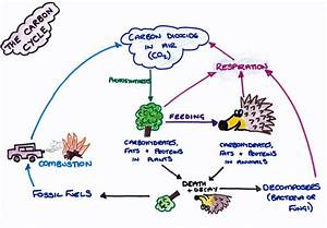 Diagram Of The Carbon Cycle Worksheet Image collections ...