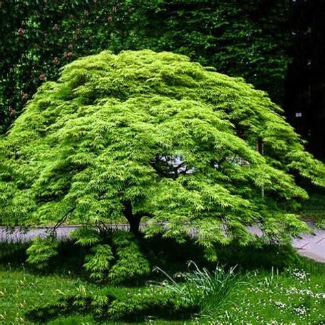weeping japanese maple viridis  sale   tree