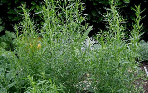 backyard patch herbal blog tarragon herb   week
