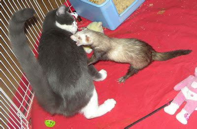 do dogs and ferrets get along