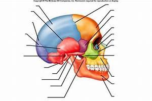 Cranium Bone Quiz