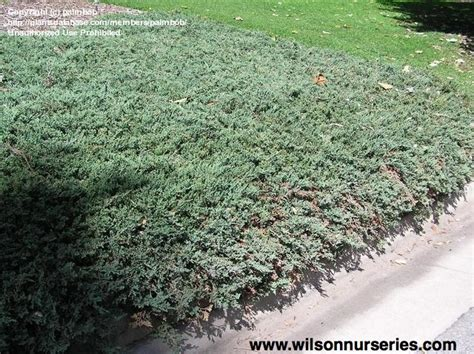 blue rug juniper for blue rug spreading juniper wilson nurseries