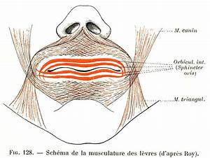 128  Diagram Of The Lip Muscles