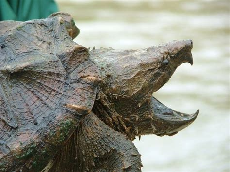 north american alligator snapping turtle