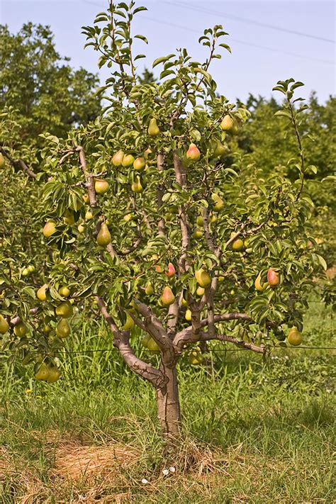 harvest table pear pruning harvest to table