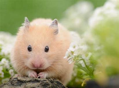 Hamster Lebenserwartung Viel Werden Wie Kaufen Ein