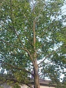 Was Ist Das Für Ein Baum : was ist das f r ein baum liriodendron tulipifera baumkunde forum ~ Buech-reservation.com Haus und Dekorationen