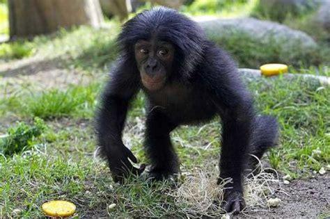 Scimmia Sedere Rosso by Bonobo Animals Zone