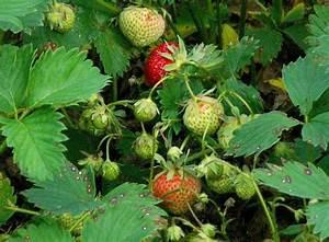 Erdbeeren Wann Pflanzen : wann erdbeeren pflanzen great hummi pflanzen with wann erdbeeren pflanzen free erdbeeren pdf ~ Frokenaadalensverden.com Haus und Dekorationen