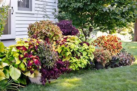 coleus garden sunbathing hybrids use colorful coleus to perk up any garden corner this old house