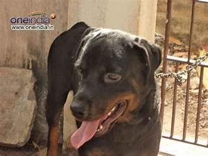 Rottweiler rottweiler dog dangerous dog dog photos for Rottweiler dangerous dog