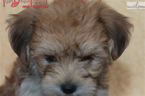 petunia morkie yorktese puppy for sale near west palm