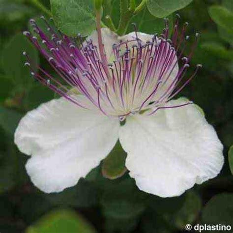 fiori capperi capperi e cucunci la differenza