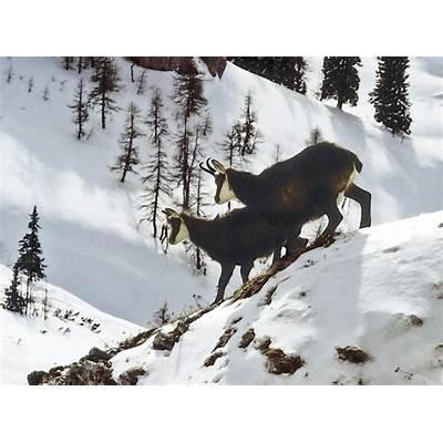 Free photo: Animals Alpine Chamois - Image