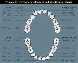 Primary Tooth Eruption Chart