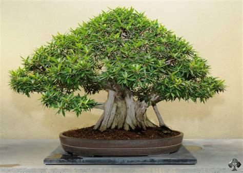 bonsai da interno i bonsai da interno e le loro linee guida specifiche per