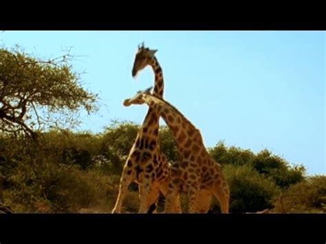 Viral Video: 'Most Violent Giraffe Fight Ever | Good ...