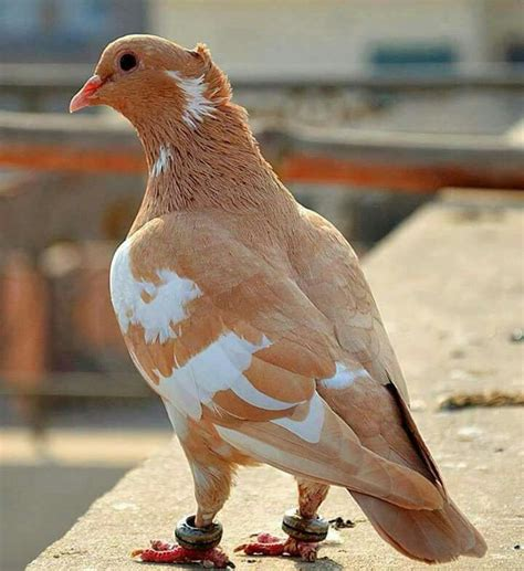 25+ Best Ideas About Homing Pigeons On Pinterest Pigeon