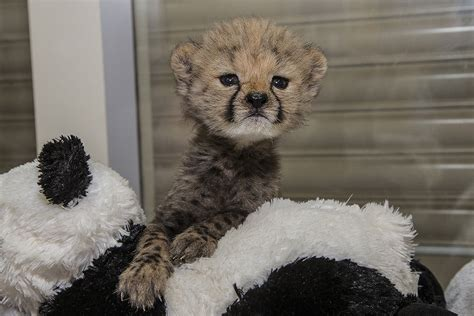 abandoned cheetah cub companion puppy bonding  san