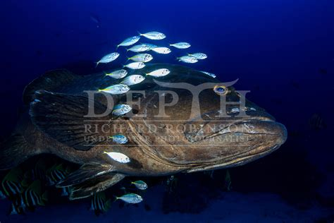 underwater grouper robinson richard spotted epinephelus trevally photojournalist depth