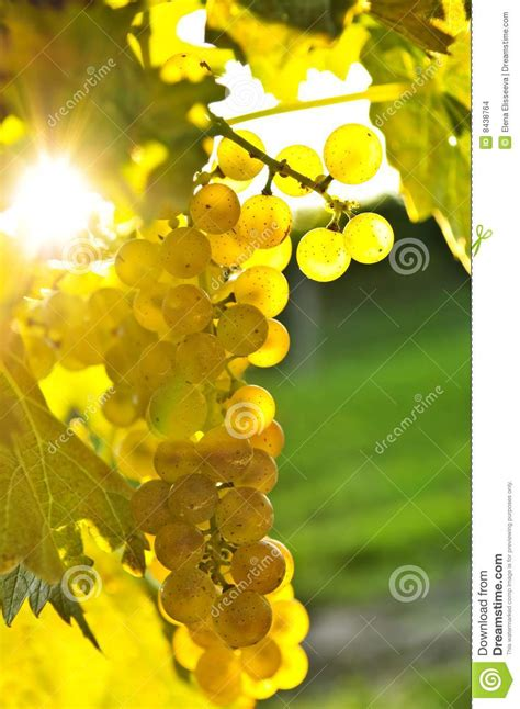 yellow grapes stock images image