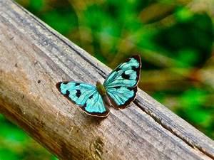 Rarest Butterfly HD Wallpaper | Animals Wallpapers