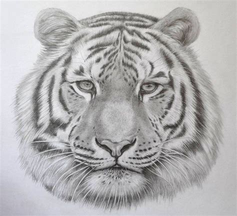 realistic tiger drawing  pencil  jsharts  deviantart